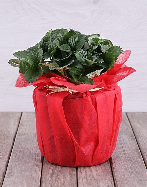 birthday: Strawberry Plant in Red Tissue Paper!