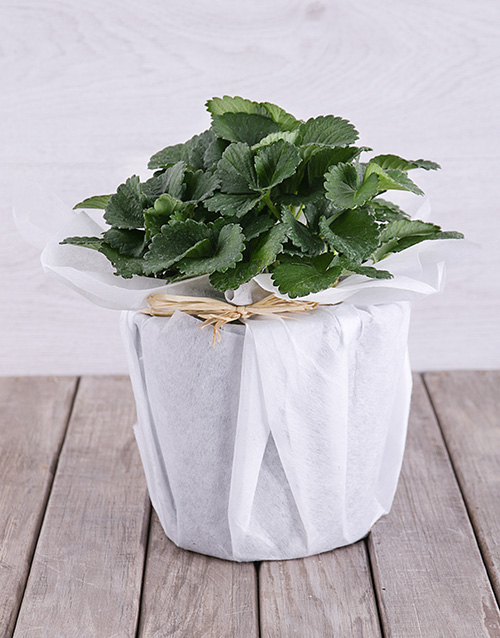love-and-romance: Strawberry Plant in White Tissue Paper!