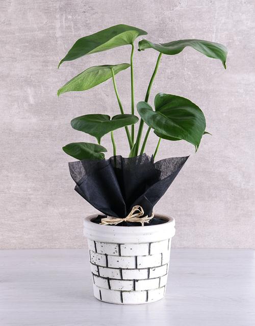 bosses-day: Monstera Plant in Brick Pot!