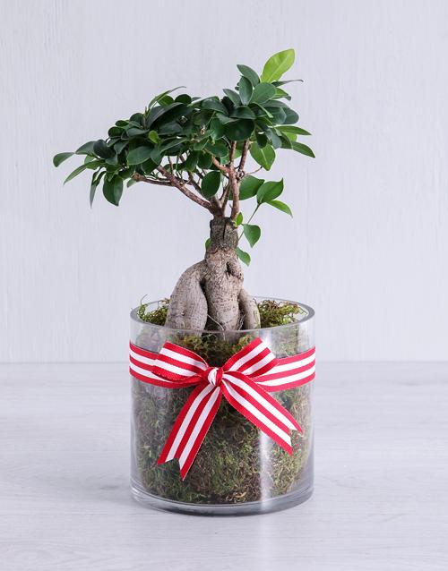 bonsai: Ficus Bonsai Tree in Red Ribbon Cylinder Vase!