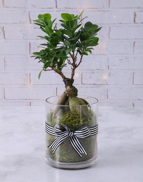 birthday: Ficus Bonsai Tree in Black Ribbon Cylinder Vase!