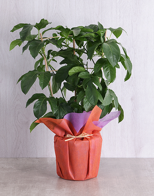 herbs: Wrapped Granadilla Fruit Tree Plant !