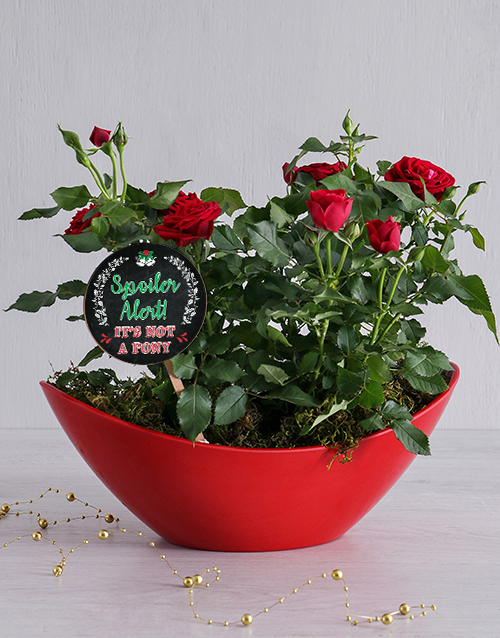 christmas: Spoiler Alert Red Rose Bush!