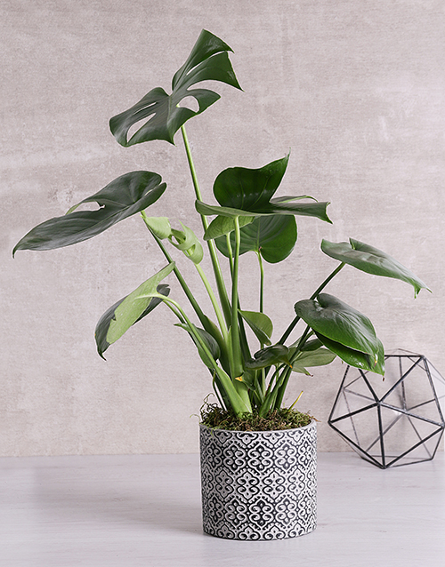 green: Monstera Plant in Black Patterned Vase!