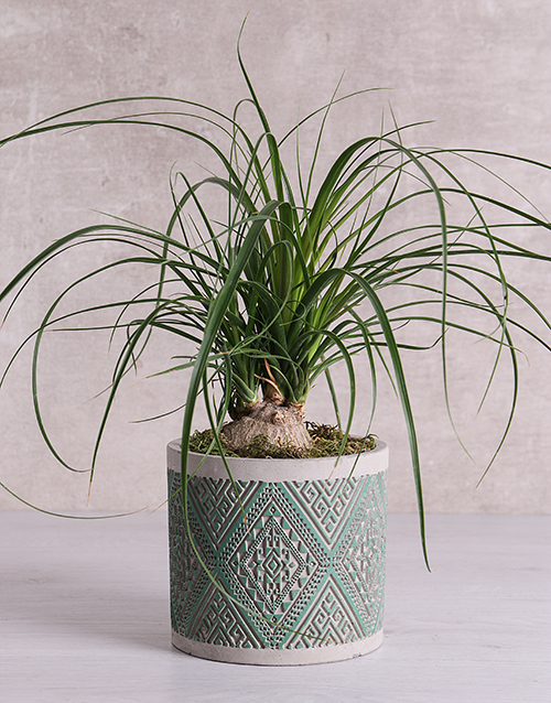 birthday: Beaucarnea in Green Patterned Vase!