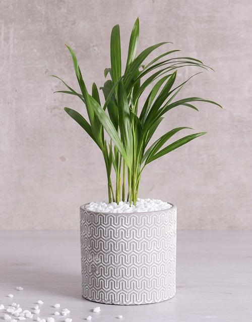 baby: Love Palm in Grey Vase!