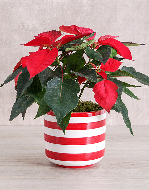 christmas: Red Poinsettia Plant in Striped Pot!