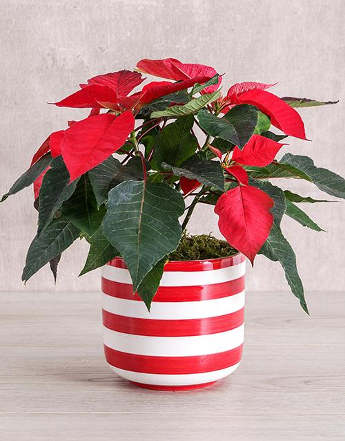 colour: Red Poinsettia Plant in Striped Pot!