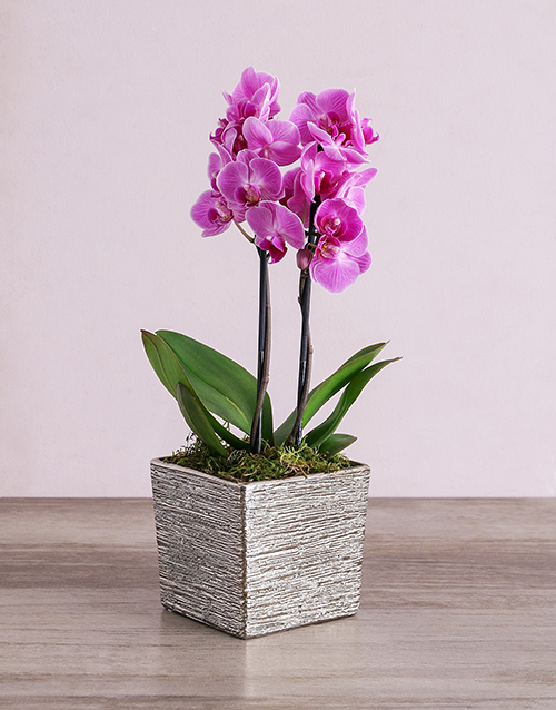 flowers: Midi Phalaenopsis Orchid in Silver Square Vase!
