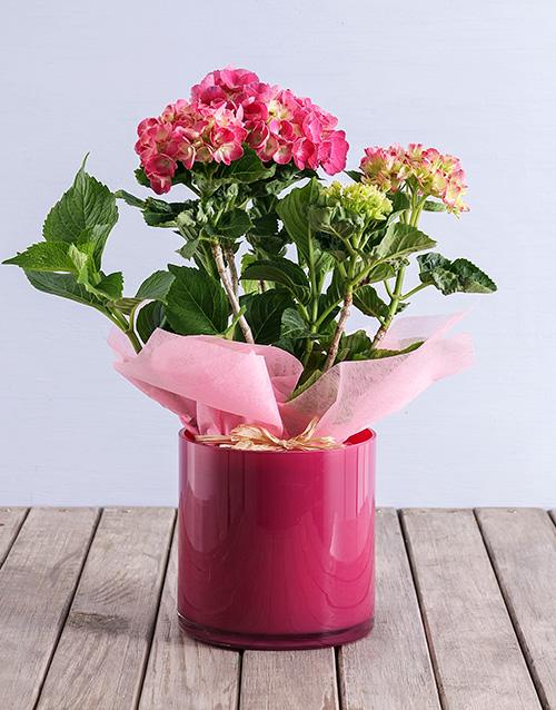 coloured-vases: Pink Hydrangea in Pink Cylinder Vase!