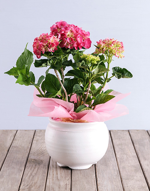 pottery: Pink Hydrangea in White Pottery!