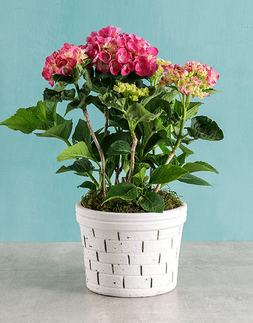 christmas: Pink Hydrangea in Brick Pot!