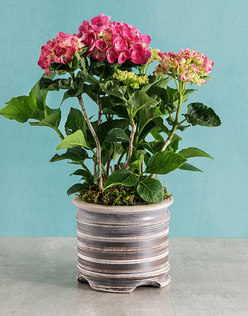 pottery: Pink Hydrangea in Ceramic Pot!