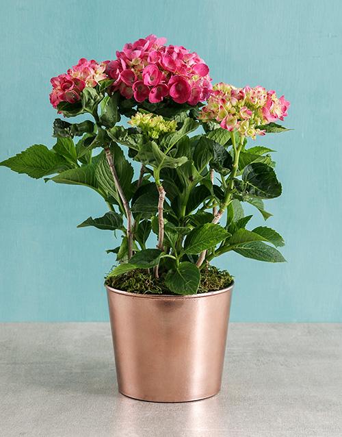 christmas: Pink Hydrangea in Cleo Pot!