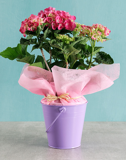 baby: Pink Hydrangea in Purple Bucket!