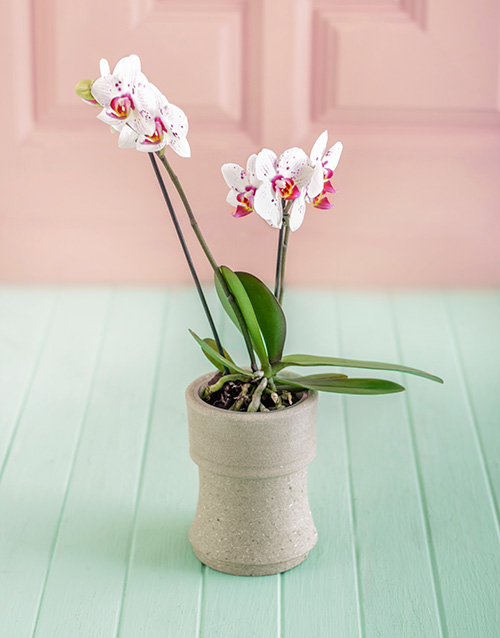 orchids: Mini Orchid in Pottery!
