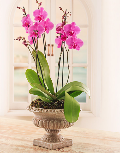 pottery: Multi Orchid in a Pedestal Pot!