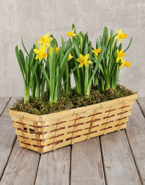 get-well: Daffodils in a Basket!
