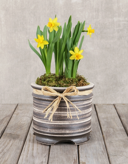 seasonal: Daffodil Plant in Round Ceramic Pot!