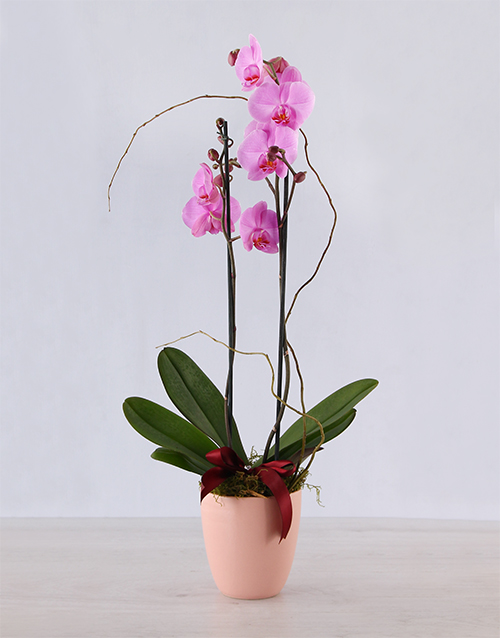pottery: Luxurious Pink Phalenopsis Orchid!