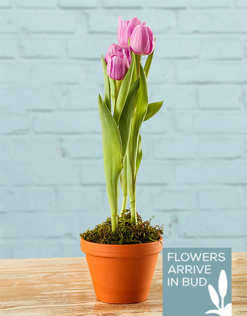 get-well: Tulip Pot Plant!