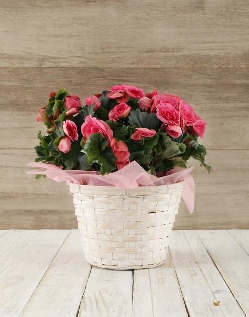 baby: Begonia Basket!