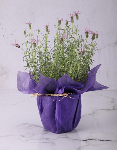 teachers-day: Lovely Lavender Plants!