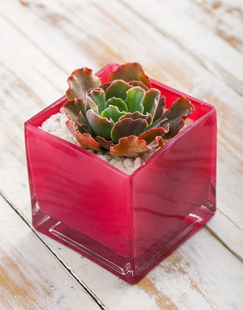 coloured-vases: Succulent in Pink Square Vase!