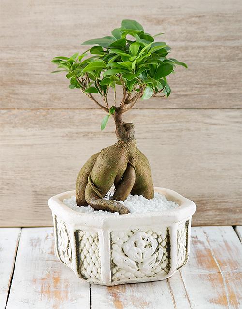 bonsai: Flipping Fantastic Ficus!