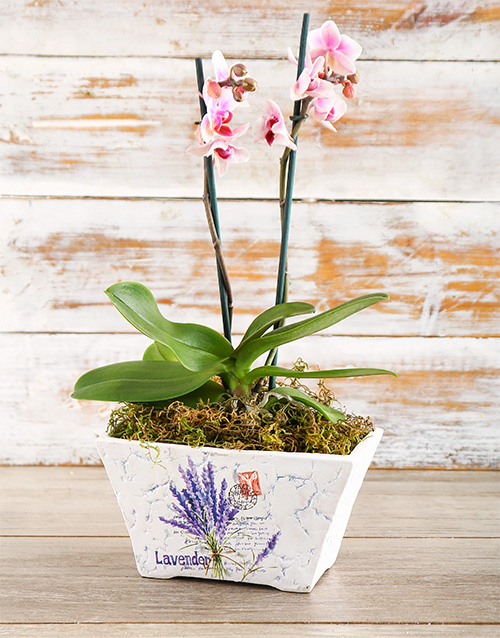 orchids: Original Phalaenopsis Orchid!