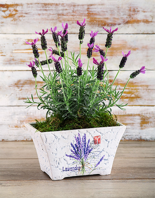 pottery: Lucky Lavender Plant!