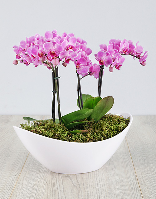 birthday: Pearly Orchid In White Pot!