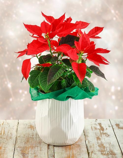 colour: Joyous Poinsettia!