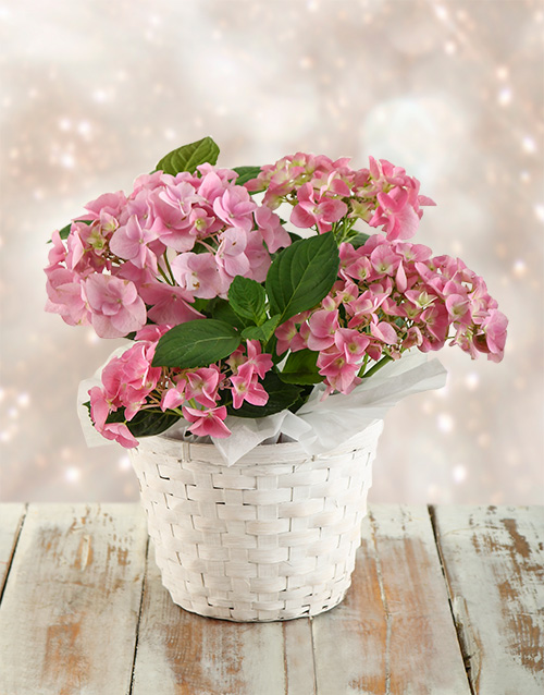christmas: Pink Hydrangeas in White Wash Basket!