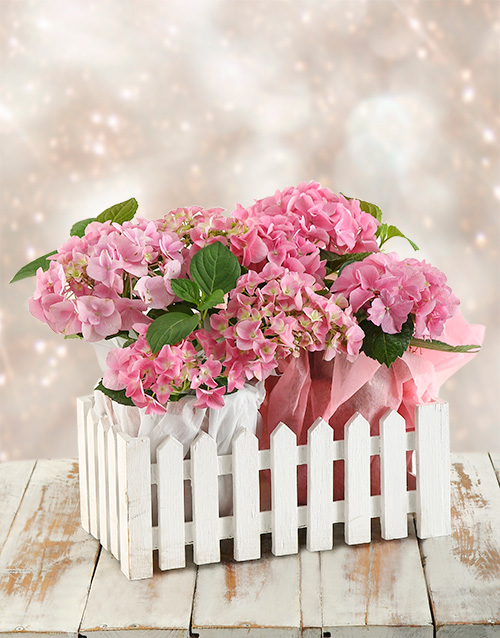 birthday: Pink Hydrangeas in Picket Fence!