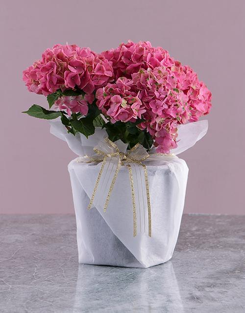 birthday: Pink Christmas Hydrangea Plant!