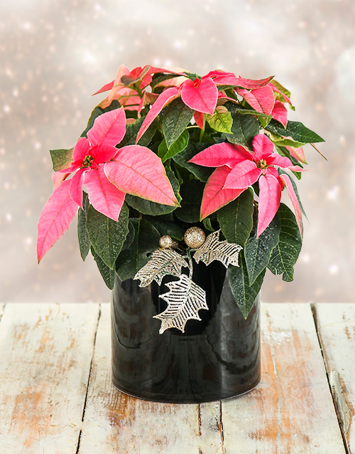 colour: Festive Christmas Poinsettia !