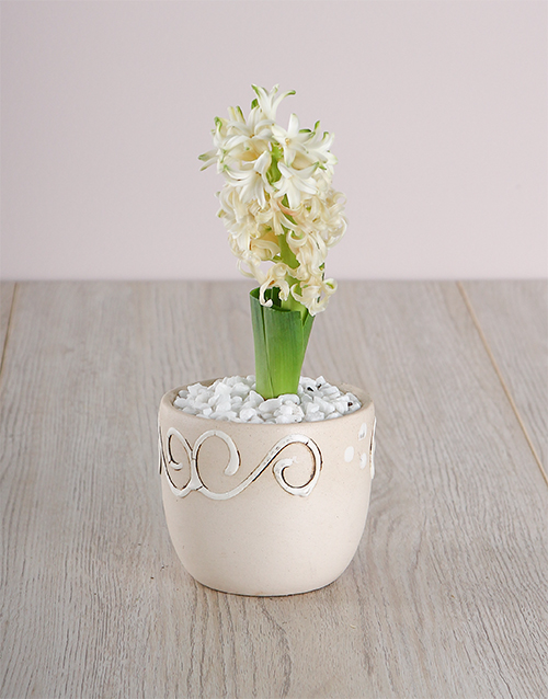 baby: White Hyacinth in a Cream Ceramic!