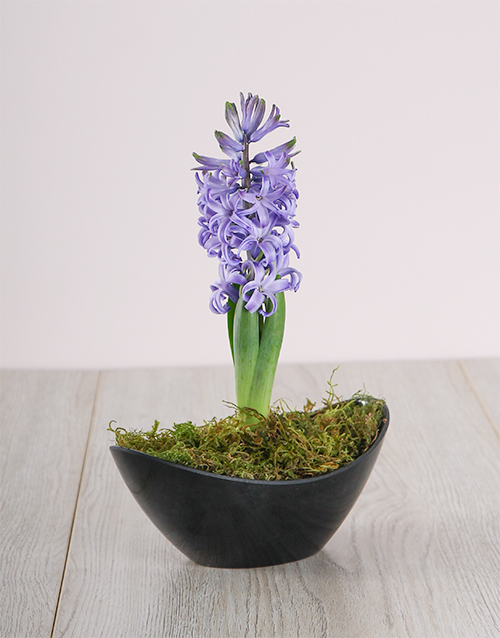 vase: Blue Hyacinth in a Small Black Boat!