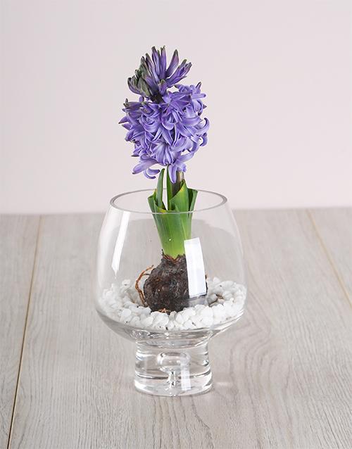 hyacinths: Blue Hyacinth in a Goblet!