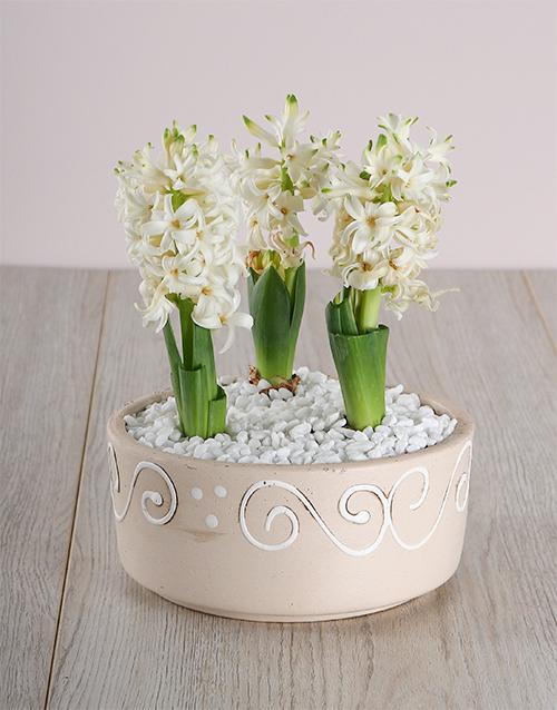 colour: 3 Hycinths in a Ceramic pot!