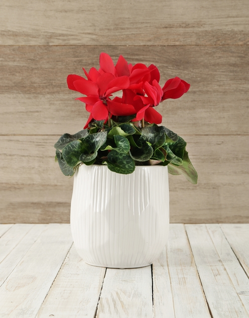 cyclamen: Cyclamen in White Ceramic Bowl!