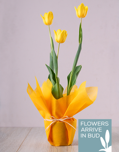 apology: Yellow Tulip Plant!