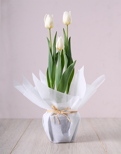 colour: White Tulip Plant in Bulk!