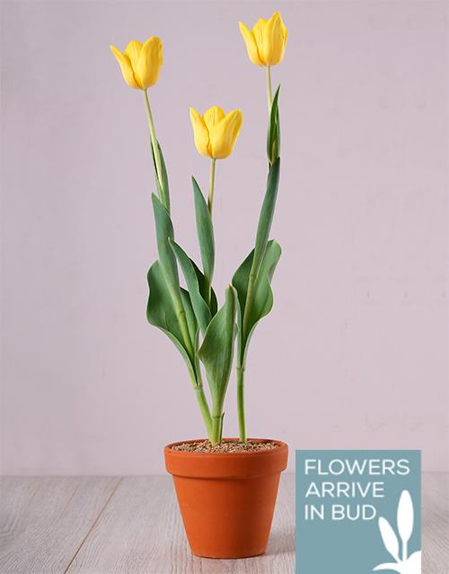 birthday: Sunny Yellow Tulip Plant!