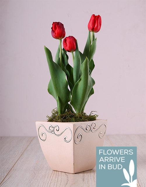 seasonal: Red Tulips in Ceramic Pot!