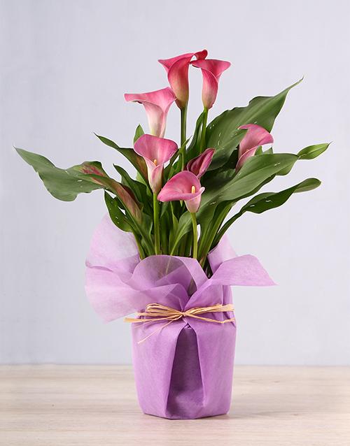secretarys-day: Pink Zantedeschia Plant!
