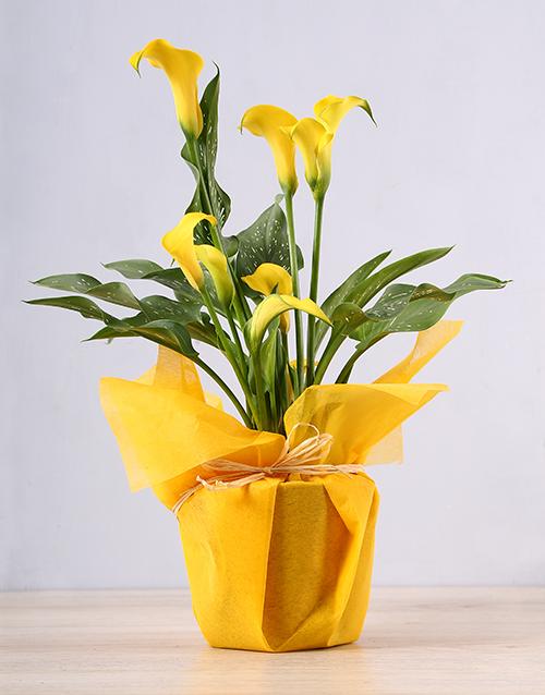 lilies: Yellow Zantedeschia Plant!