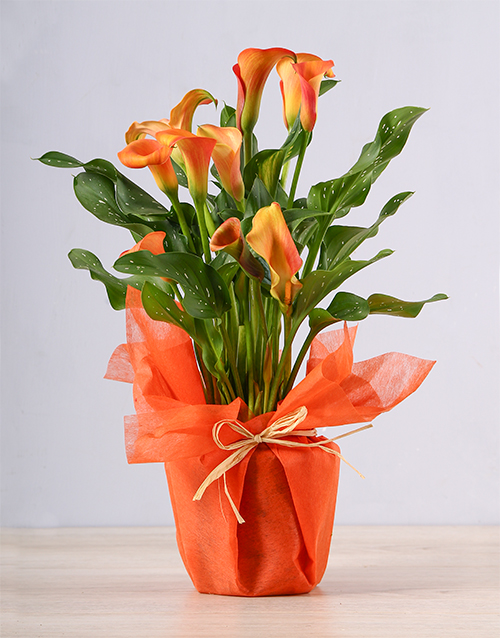 colour: Orange Zantedeschia Plant!