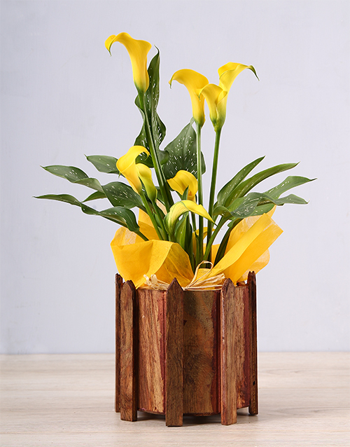 plants: Yellow Zantedeschia Picket Fence!